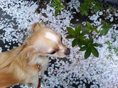 桜と小太郎